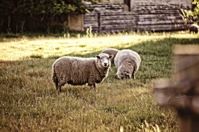 hallam sheep