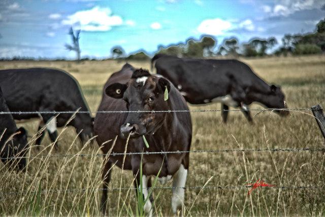 cows road trip