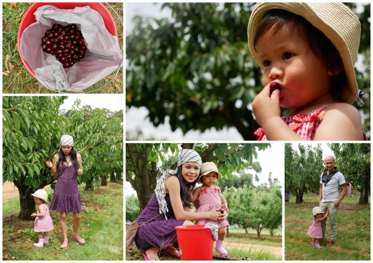 fairview hill cherry farm, wandin east, victoria, australia