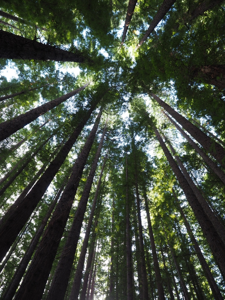 redwood forest, warburton, victoria, australia